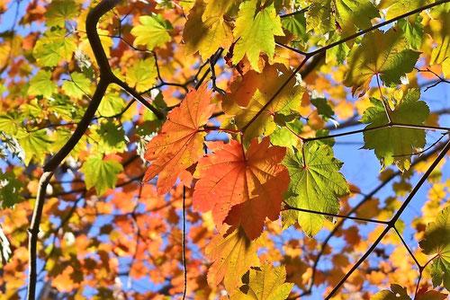 ハウチワカエデ,紅葉,画像