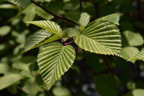 アズキナシ 葉っぱ 特徴