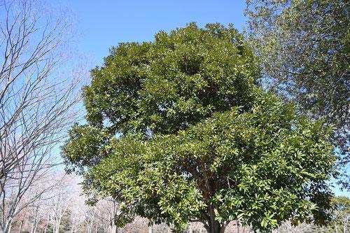 Japanese stone oak
