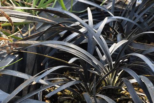 黒竜,黒龍,植物