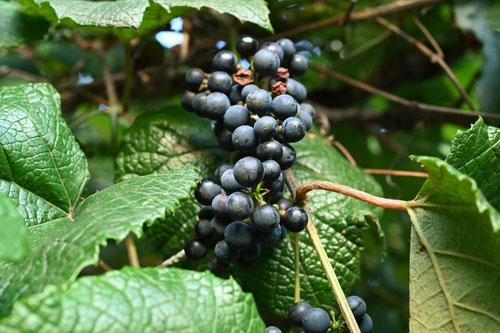日本のブドウ,在来種