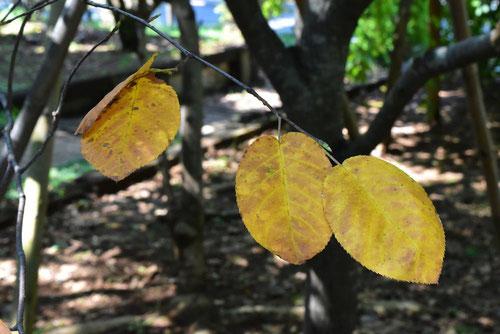 ジューンベリー 紅葉 黄葉
