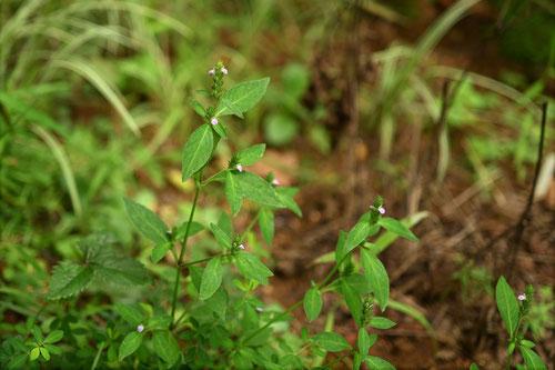 きつねのまご,植物