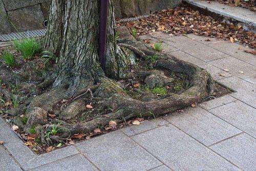 桂の根 画像