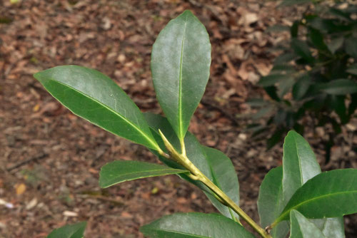 クロキの葉,特徴
