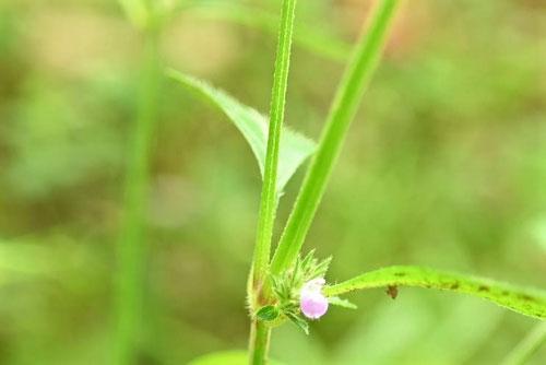 小さなピンク色の花が咲く雑草