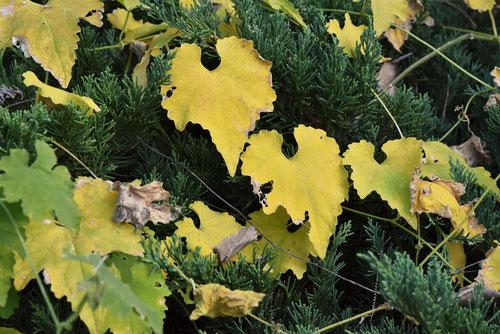 カラスウリ,開花,黄葉