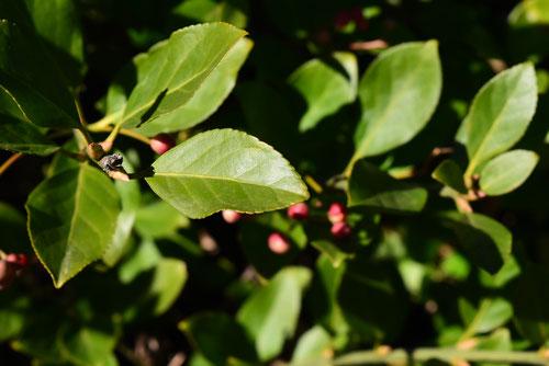 ツルマサキ,つるまさき,葉っぱ