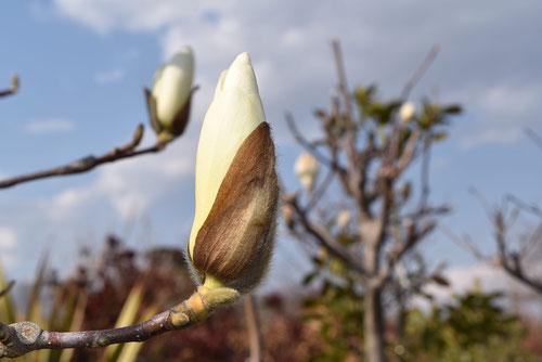 ハクモクレンとコブシの木