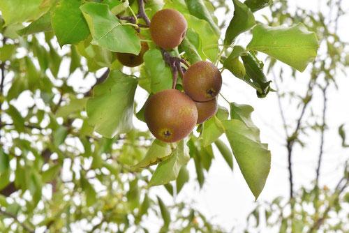 山梨の木,味