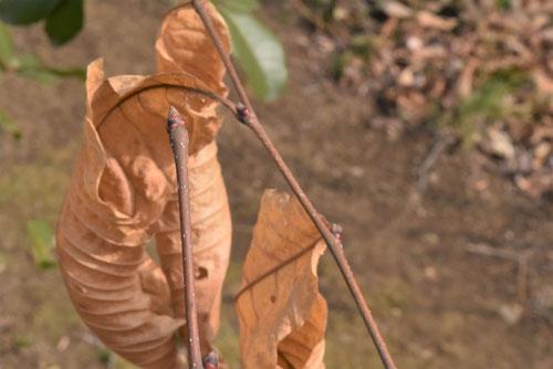 栗の木,特徴