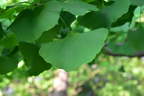 leaf of ginkgo,picture