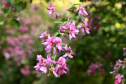 夏萩の花,時期