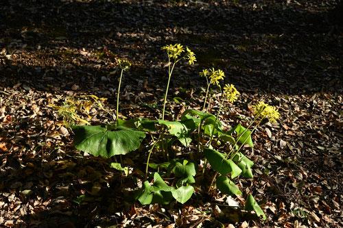 黄色い花が咲く 山野草