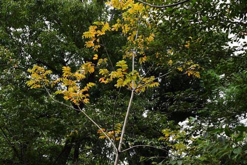 漆の木,うるし,特徴