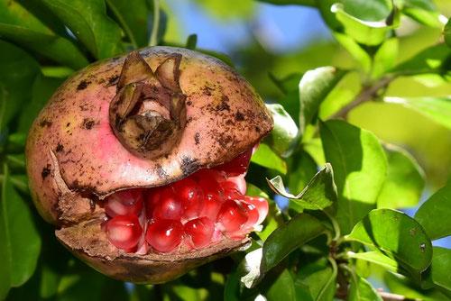 ザクロの木の実
