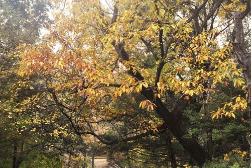 アベマキ,樹木