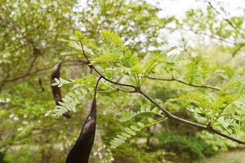 サイカチの葉っぱ 食べる