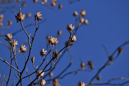 冬のユリノキ,画像