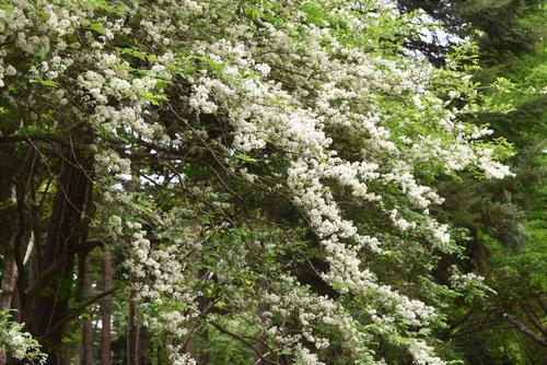 サワフタギ 開花時期