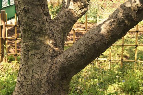 りんご,木の幹