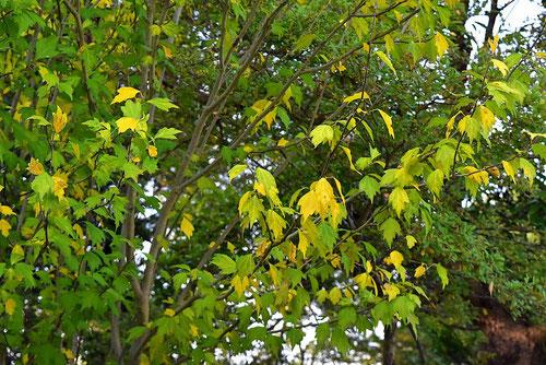木槿,ムクゲの木,紅葉