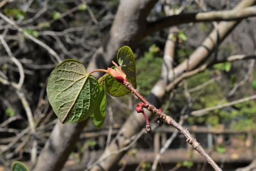 マルバノキ 樹木図鑑 画像