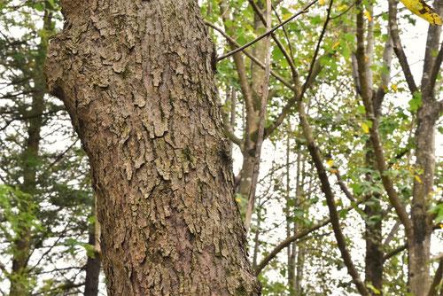 ハンカチの木 幹