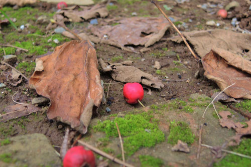西洋さんざしの果実,セイヨウサンザシ