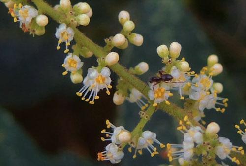 Sumac tree,flower