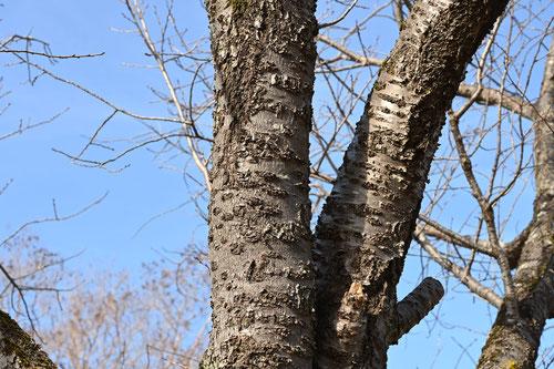 イチヨウというサクラの木
