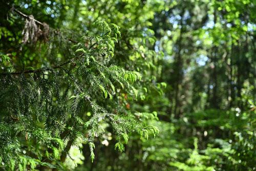杉の木,庭木