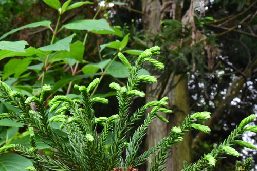 杉の木,庭木,すぎの木