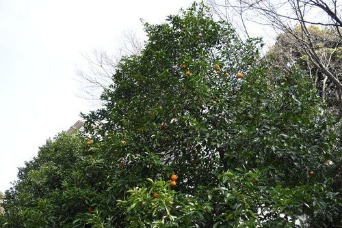 橙の木 皇居