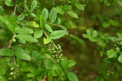イボタロウ,木の実,名前
