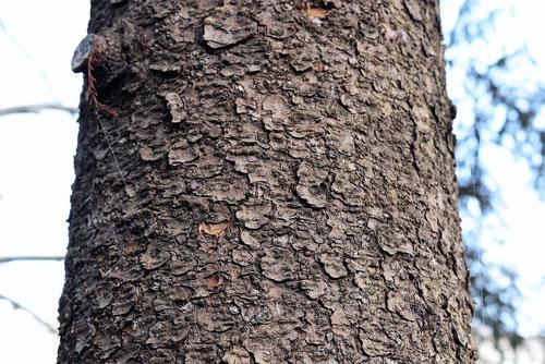 エゾマツの幹