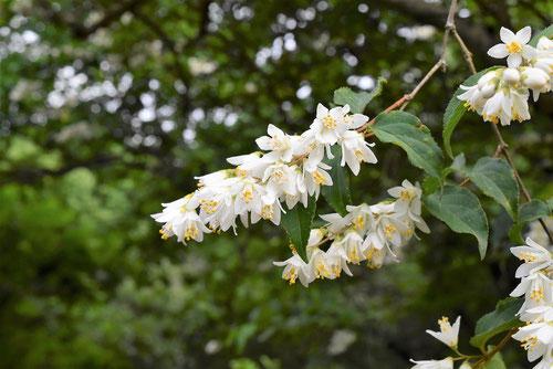 ウツギの花,うつぎ,卯の花