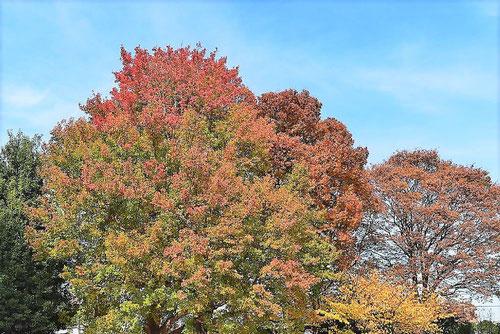 トウカエデ 紅葉 黄葉