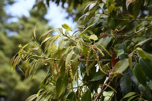 ウラジロガシ(裏白樫) - 庭木...