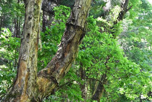 アサダの木,浅田