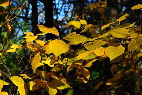 トウゴクミツバツツジ 紅葉 黄葉