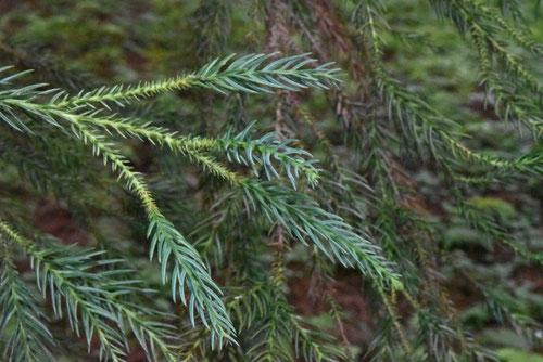 杉の種類,すぎの木