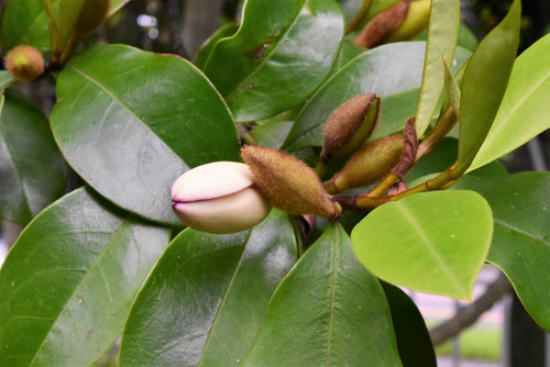 Banana shrub,flower