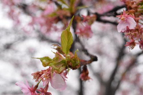 オオカンザクラ,開花時期