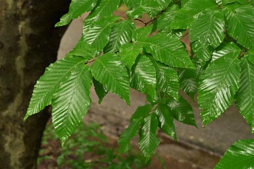 犬山毛欅の葉,特徴