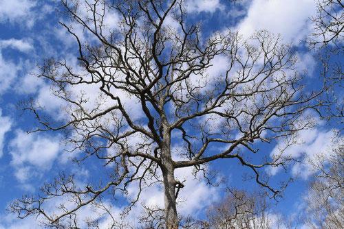 椚の木,クヌギ,樹木図鑑