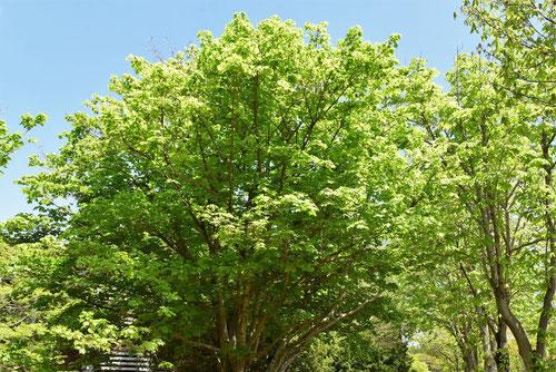 Horned Maple,Japan