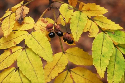 サンショの木,紅葉