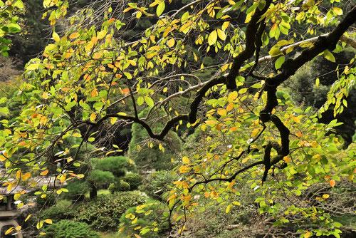 柿の木の紅葉,黄葉