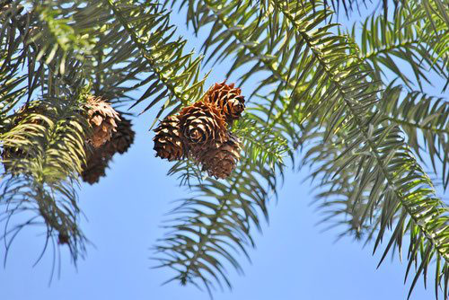 China fir,picture
